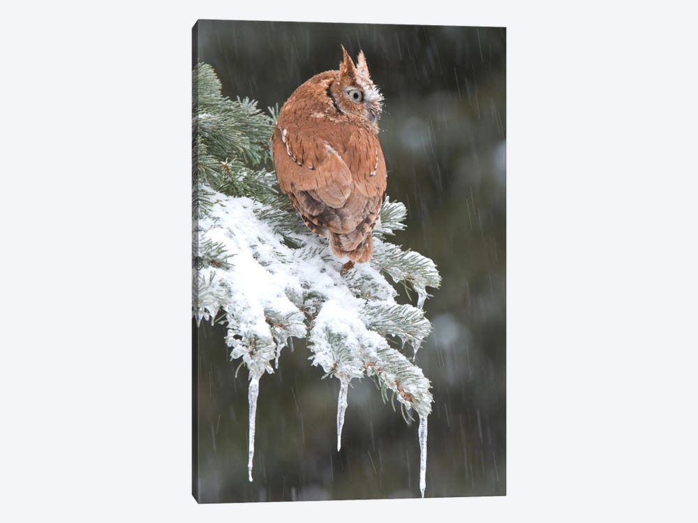 Eastern Screech Owl Red Morph In Winter, Howell Nature Center, Michigan by Steve Gettle 1-piece Canvas Print