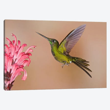 Empress Brilliant Hummingbird Feeding On Flower Nectar Canvas Print #GET5} by Steve Gettle Canvas Print