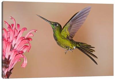 Empress Brilliant Hummingbird Feeding On Flower Nectar Canvas Art Print