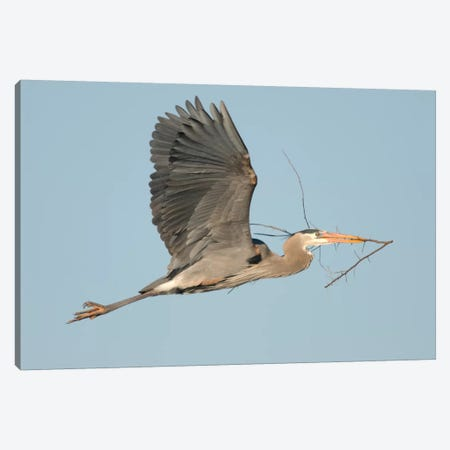Great Blue Heron Flying With Nest Material, Kensington Metropark, Milford, Michigan Canvas Print #GET6} by Steve Gettle Canvas Art Print