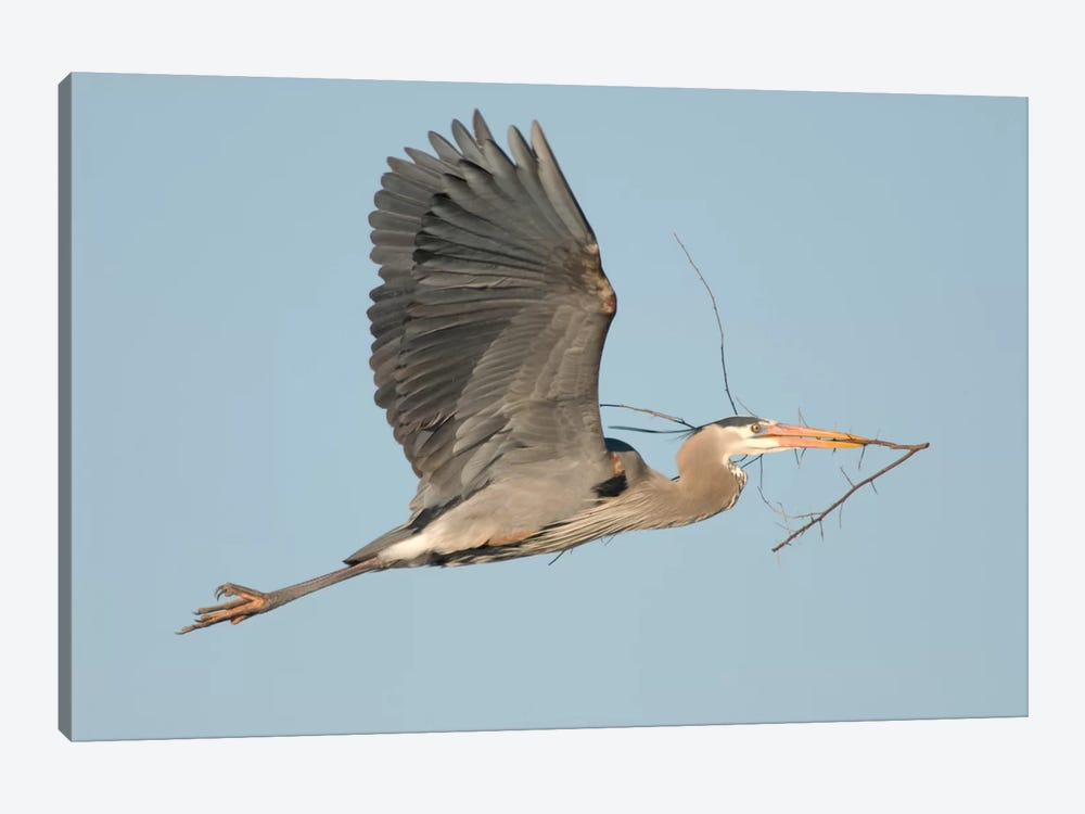 Great Blue Heron Flying With Nest Material, Kensington Metropark, Milford, Michigan by Steve Gettle 1-piece Canvas Print