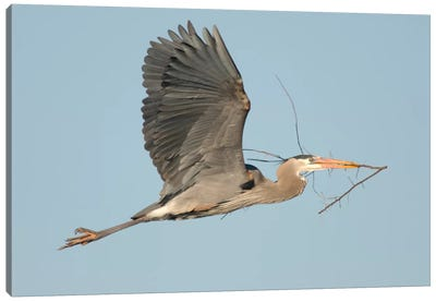 Great Blue Heron Flying With Nest Material, Kensington Metropark, Milford, Michigan Canvas Art Print
