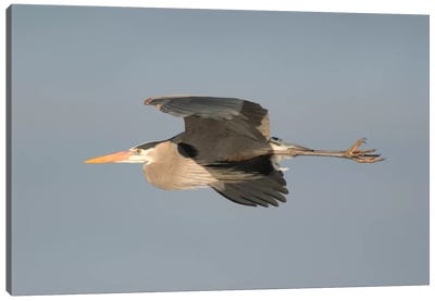 Great Blue Heron Flying, Kensington Metropark, Milford, Michigan Canvas Art Print