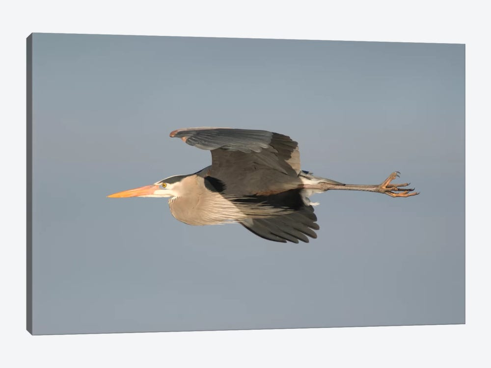 Great Blue Heron Flying, Kensington Metropark, Milford, Michigan by Steve Gettle 1-piece Canvas Wall Art