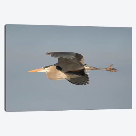 Great Blue Heron Flying, Kensington Metropark, Milford, Michigan Canvas Print #GET7} by Steve Gettle Canvas Print