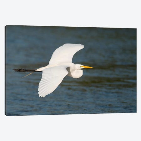 Great Egret Flying, Fort Myers Beach, Florida Canvas Print #GET8} by Steve Gettle Canvas Art
