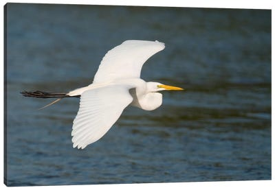 Great Egret Flying, Fort Myers Beach, Florida Canvas Art Print