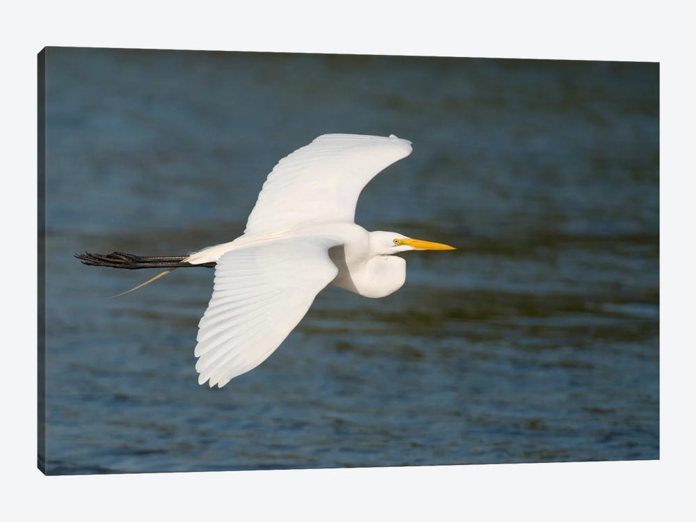 Great Egret Flying, Fort Myers Beach, Florida by Steve Gettle 1-piece Art Print