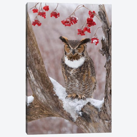Great Horned Owl In Winter, Howell Nature Center, Michigan Canvas Print #GET9} by Steve Gettle Canvas Art