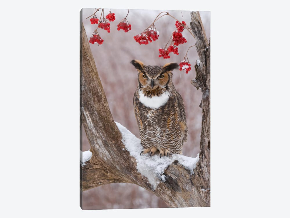 Great Horned Owl In Winter, Howell Nature Center, Michigan by Steve Gettle 1-piece Canvas Art