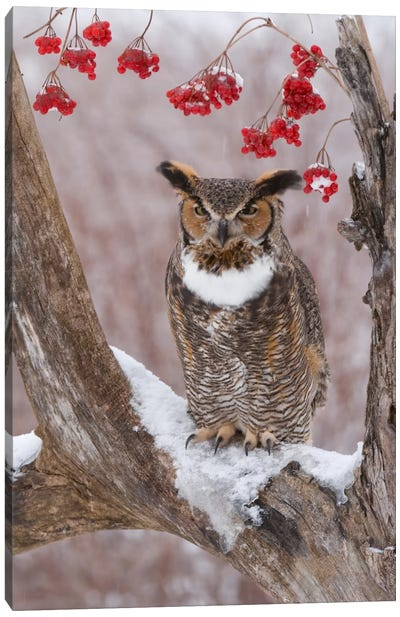 Great Horned Owl In Winter, Howell Nature Center, Michigan Canvas Art Print