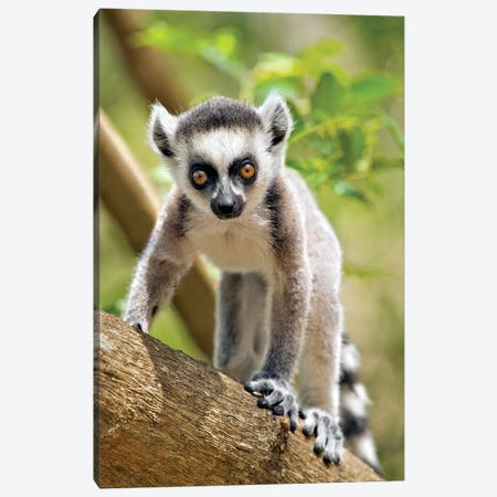 Baby Ring-Tailed Lemur In The Anja Private Community Reserve Near Ambalavao In Southern Madagascar. Canvas Print #GIG1} by Gallo Images Canvas Art