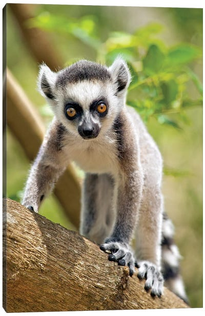 Baby Ring-Tailed Lemur In The Anja Private Community Reserve Near Ambalavao In Southern Madagascar. Canvas Art Print