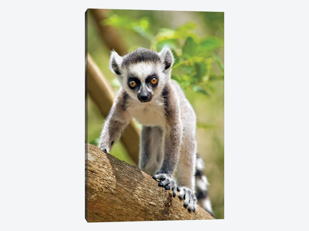 Baby Ring-Tailed Lemur In The Anja Private Community Reserve Near Ambalavao In Southern Madagascar. by Gallo Images 1-piece Canvas Print