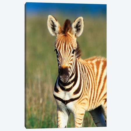 Plains Zebra Foal Portrait, Tala Private Reserve, Midlands, Kwazulu-Natal, South Africa. Canvas Print #GIG2} by Gallo Images Canvas Wall Art