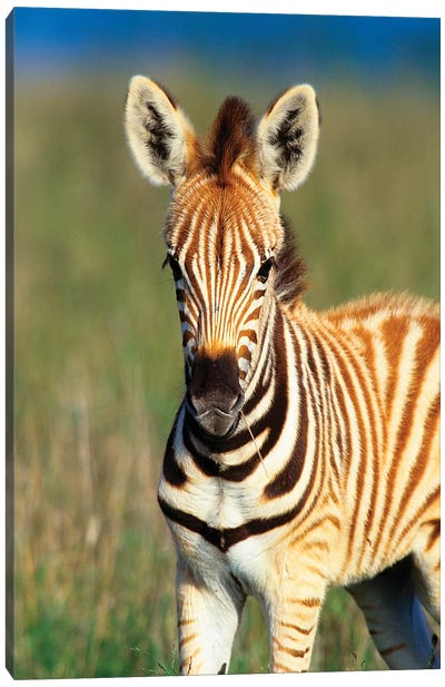 Plains Zebra Foal Portrait, Tala Private Reserve, Midlands, Kwazulu-Natal, South Africa. Canvas Art Print