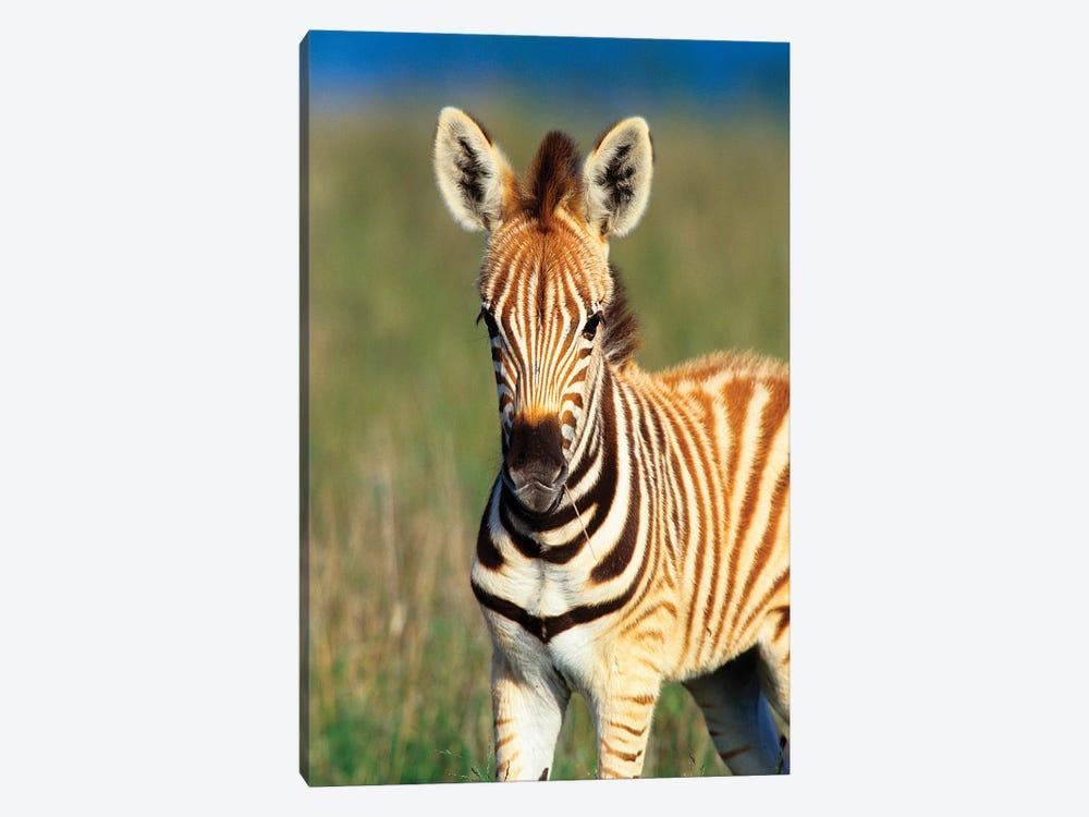 Plains Zebra Foal Portrait, Tala Private Reserve, Midlands, Kwazulu-Natal, South Africa. by Gallo Images 1-piece Canvas Artwork