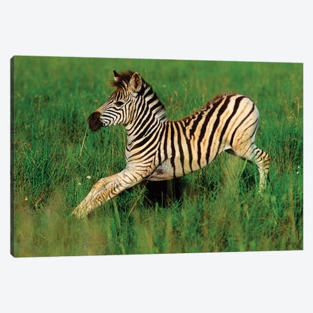 Plains Zebra Foal Stretching, Midmar Game Reserve, Midlands, Kwazulu-Natal, South Africa. Canvas Print #GIG3} by Gallo Images Canvas Artwork