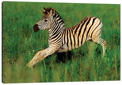 Plains Zebra Foal Stretching, Midmar Game Reserve, Midlands, Kwazulu-Natal, South Africa. Canvas Art Print