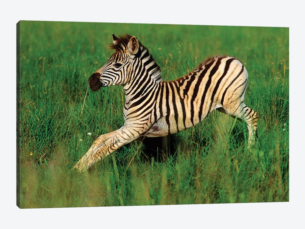 Plains Zebra Foal Stretching, Midmar Game Reserve, Midlands, Kwazulu-Natal, South Africa. by Gallo Images 1-piece Canvas Art Print
