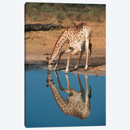 Giraffe Drinking From Pond, Hwange National Park, Zimbabwe, Africa. Canvas Print #GIG4} by Gallo Images Canvas Art Print