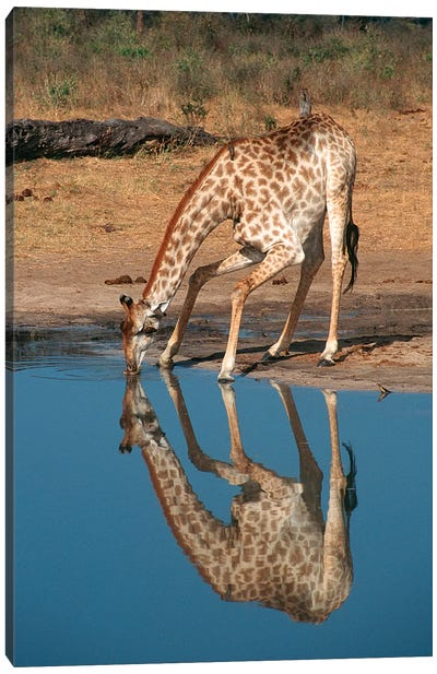 Giraffe Drinking From Pond, Hwange National Park, Zimbabwe, Africa. Canvas Art Print