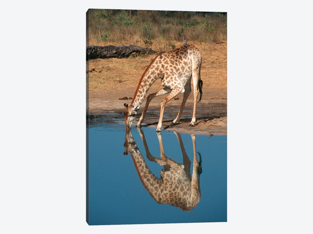 Giraffe Drinking From Pond, Hwange National Park, Zimbabwe, Africa. by Gallo Images 1-piece Canvas Artwork
