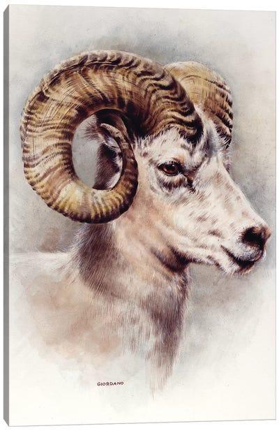 Dall Sheep Portrait Canvas Art Print