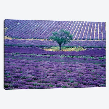 Lavender Fields, Vence, Provence-Alpes-Cote d'Azur, France Canvas Print #GJE2} by Gavriel Jecan Canvas Print