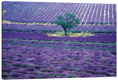 Lavender Fields, Vence, Provence-Alpes-Cote d'Azur, France Canvas Art Print