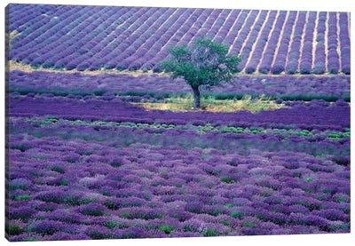Lavender Fields, Vence, Provence-Alpes-Cote d'Azur, France Canvas Art Print