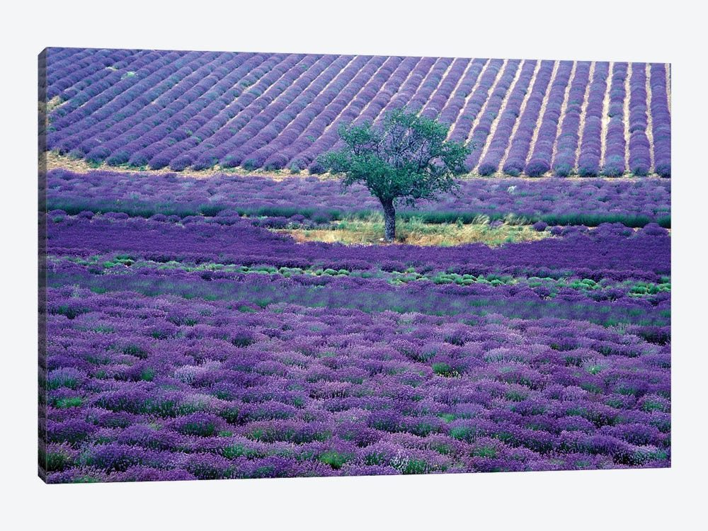 Lavender Fields, Vence, Provence-Alpes-Cote d'Azur, France by Gavriel Jecan 1-piece Canvas Art