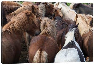 Icelandic Horse Herd In Zoom Canvas Art Print