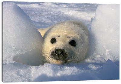 Harp Seal, Canada, Gulf Of St. Lawrence. Canvas Art Print