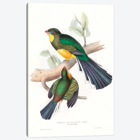 Tropical Trogons I Canvas Print #GLD10} by John Gould Canvas Wall Art