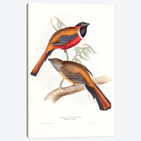 Tropical Trogons IV Canvas Print #GLD13} by John Gould Canvas Wall Art