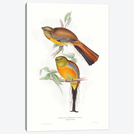 Tropical Trogons VI Canvas Print #GLD15} by John Gould Canvas Print