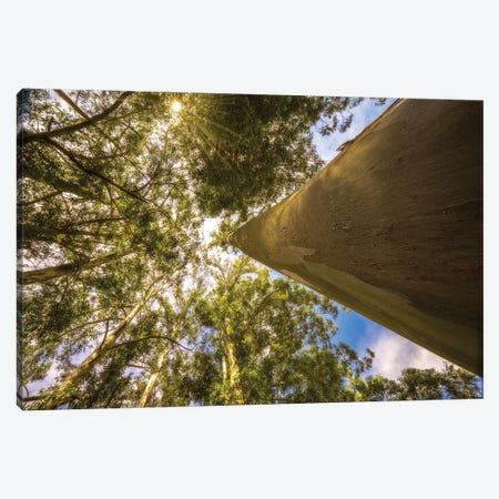 Big Tree Canvas Print #GLM10} by Glauco Meneghelli Canvas Art Print