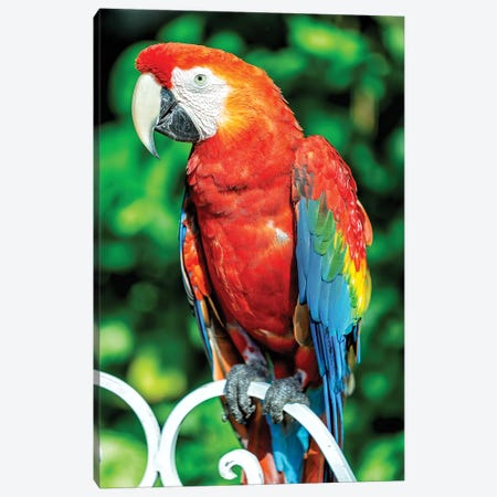 Red Macaw Canvas Print #GLM128} by Glauco Meneghelli Canvas Art