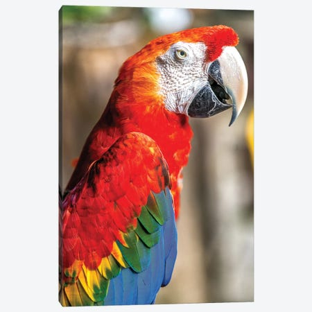 Red Macaw II Canvas Print #GLM129} by Glauco Meneghelli Canvas Artwork
