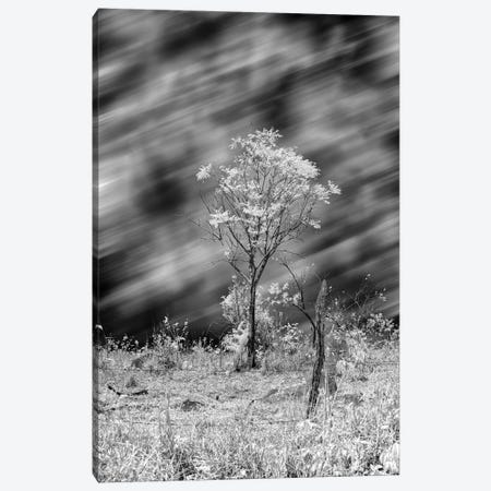 Tree Black & White  - Sao Paulo, Brazil Canvas Print #GLM150} by Glauco Meneghelli Art Print
