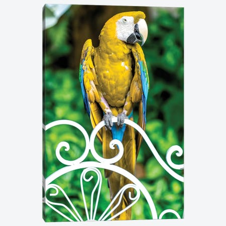 Yellow Macaw Canvas Print #GLM160} by Glauco Meneghelli Canvas Artwork