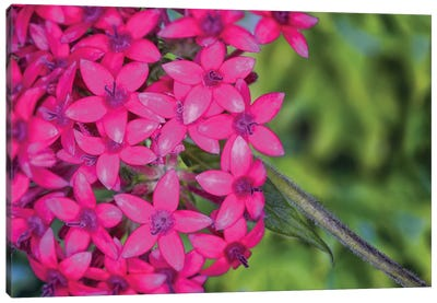 Close Up Of Pink Hydrangea Flowers Canvas Art Print