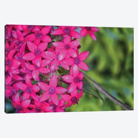 Close Up Of Pink Hydrangea Flowers Canvas Print #GLM284} by Glauco Meneghelli Canvas Art