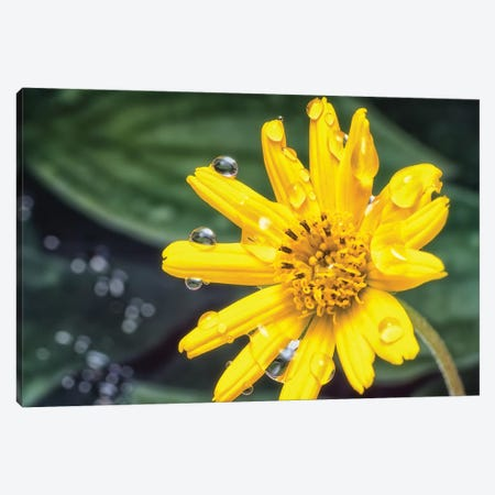 Yellow Flower With Water Drops Canvas Print #GLM285} by Glauco Meneghelli Canvas Artwork
