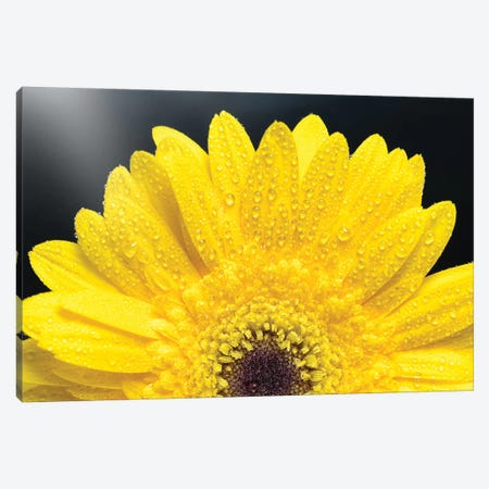 Yellow Gerber Daisy Canvas Print #GLM287} by Glauco Meneghelli Canvas Art