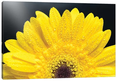 Yellow Gerber Daisy Canvas Art Print