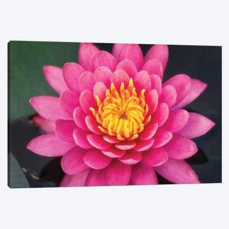 Pink Lotus Flower Canvas Print #GLM297} by Glauco Meneghelli Canvas Art Print