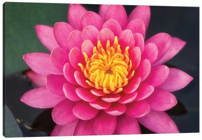 Pink Lotus Flower Canvas Art Print