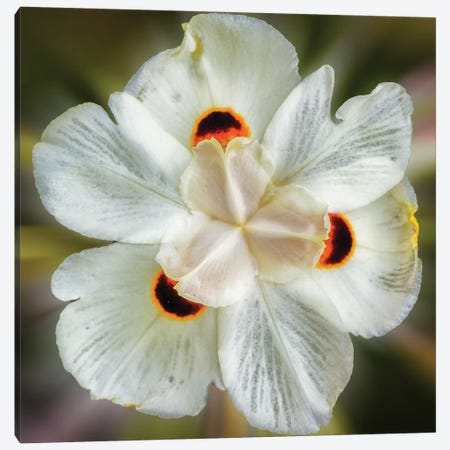 Close Up Of A White Flower Canvas Print #GLM298} by Glauco Meneghelli Canvas Artwork